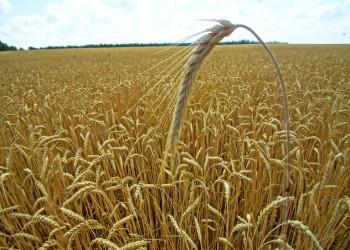الإمارات الثانية عربيا والـ41 عالميا في تصدير القمح