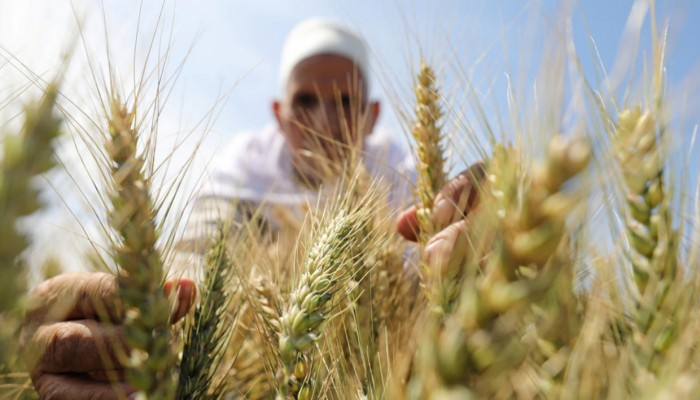 مسؤول: مصر تزرع ثلث المساحة المخصصة للقمح منذ بداية العام