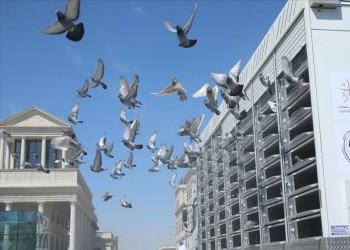 قطر.. انطلاق معرض الحمام الزاجل في الدوحة