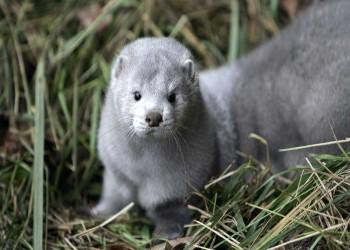 الدنمارك تنوي إعدام 17 مليون حيوان منك بسبب كورونا